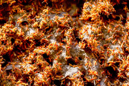 colony: Large Colony Of Termites In Ecuadorian Amazon Basin