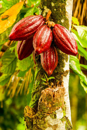 cultivation: Cocoa Fruit In The Tree Red Variety Is Considered To Be The Best Shot In Ecuadorian Jungle Stock Photo