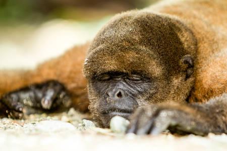 sciureus: Low Angle View Of A Sleeping Monkey Shoot In Ecuadorian Jungle Stock Photo