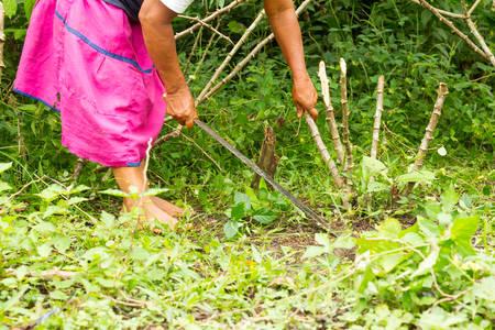 amazonia: Unidentified Woman With Machete Cleaning Up Cassava Field In Ecuadorian Amazonia