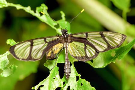 a rare: Metona Grandiosa Rare Ecuadorian Endemic Species Shot Near Mindo City