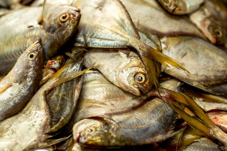 fish exhibition: Close Up Of Fresh Oceanic Fish Ready To Be Sold