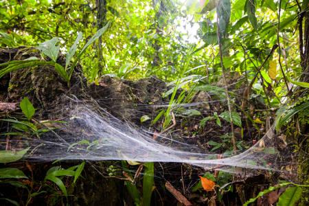amazonian: Large Size Spider Web In The Amazonian Rainforest