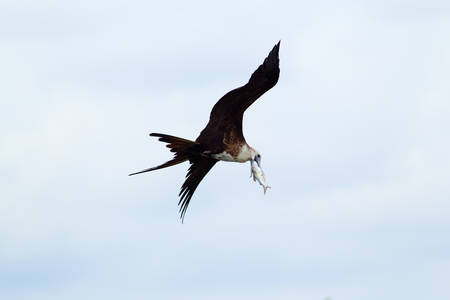 she: Frigatebird Flying With She Capture Diet Of This Species Consist 90 In Fish