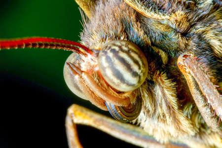 face close up: Caligo Eurilochus Face Close Up