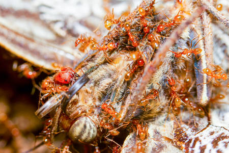 devouring: Group Of Red Ants Devouring The Carcass Of An Owl Butterfly 3X Life Size Macro