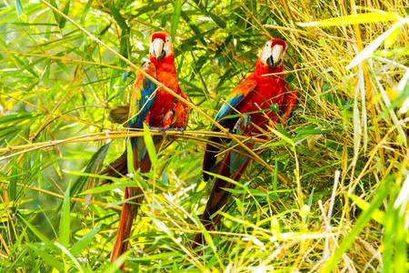 amazonia: Pair Of Ara Macaw Parrots In Ecuadorian Amazonia