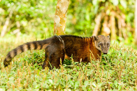 varmint: Procyon Cancrivorus Brown Species Of Raccoon Shot In The Wild Ecuadorian Rainforest