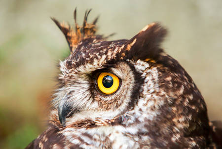 constituting: Owls Are The Order Strigiformes Constituting 200 Extant Bird Of Prey Species Most Are Solitary And Nocturnal Stock Photo