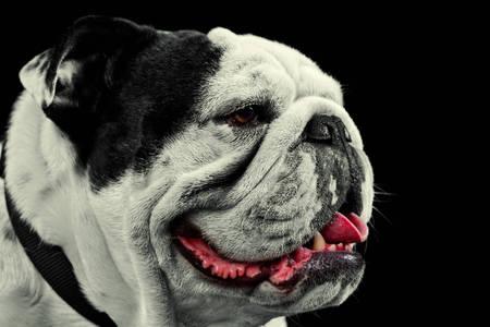 pure breed: Mug Shot Studio Portrait Of An Adult Pure Breed English Bulldog