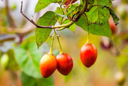 tomate de arbol: Solanum betaceum es un pequeño árbol o arbusto de la familia de las solanáceas Angiosperma Es mejor conocida como la especie que lleva el Tamarillo Un Huevo en forma de frutas comestibles Otros nombres incluyen Tomate de Árbol