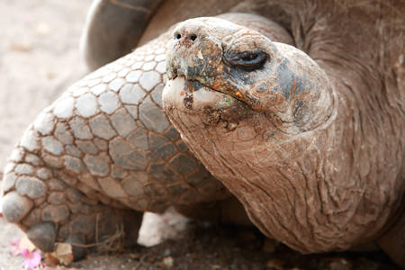 vertebrates: Galapagos Giant Tortoise Is The Largest Living Species Of Tortoise Reaching Weights Of Over 400 Kilograms And Lengths Of 1 8 Meters It Is Among The Longest Lived Of All Vertebrates