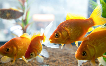 biotype: Small Gold Fishes Swimming In A Small Aquarium