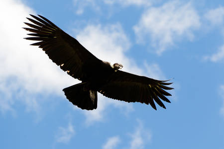 andean: Male Andean Condor In Flight Shot In Highlands Of Ecuador Andes Mountains