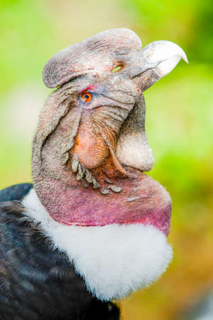 andean: The Andean Condor Is A Large Black Vulture With A Ruff Of White Feathers Surrounding The Base Of The Neck And Especially In The Male Large White Patches On The Wings Stock Photo