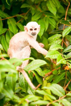 amazonian: Saimiri Cub In The Amazonian Rainforest Stock Photo