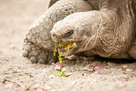 species living: Galapagos Giant Tortoise Is The Largest Living Species Of Tortoise Reaching Weights Of Over 400 Kilograms And Lengths Of 1 8 Meters It Is Among The Longest Lived Of All Vertebrates
