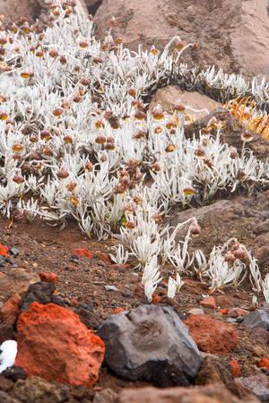 wilderness area: Sparse Vegetation On Cotopaxi Volcano Ecuador