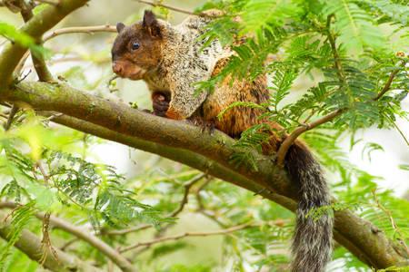 sciureus: Male Fox Squirrel In Natural Habitat Ecuadorian Rainforest