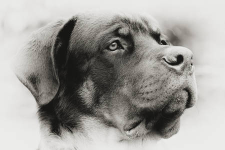 adopt: Profile Portrait Of An Adult Male Purebred Rottweiler Monochrome Narrow Dof Focus On The Eye Stock Photo