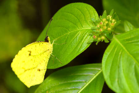 is cloudless: Beautiful Cloudless Sulphur Phoebis Sennae Butterfly Posed On A Green Leaf Stock Photo