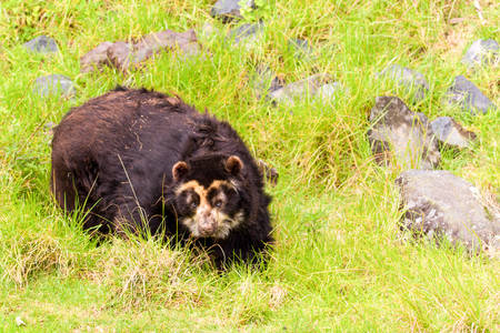 spectacled: Large Male Andean Bear Shoot In The Wild In Ecuadorian Andes Mountains Stock Photo