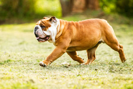 stocky: Low Angle Shot Of A Purebred English Bulldog In Motion