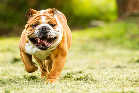 'english: Purebred English Bulldog Moving Toward The Camera Wrinkled Face Close Up Stock Photo
