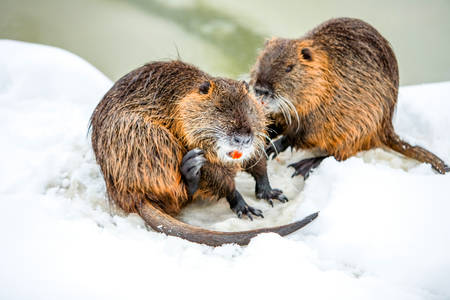 beavers in their habitat in cold winter Stock Photo