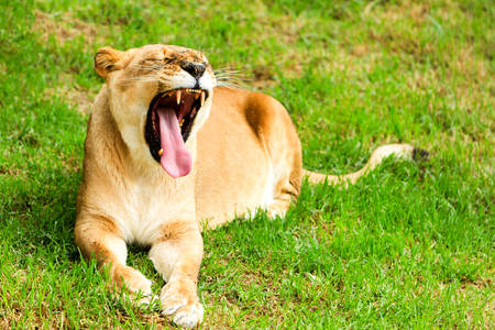 Large Lioness In A Lazy Position Shoot In A Zoological Garden Imagens
