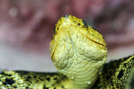 Bothrops Asper Yellow Beard Viper Shot From The Ground Level Shallow Depth Of Field The Most Dangerous Snake In South America