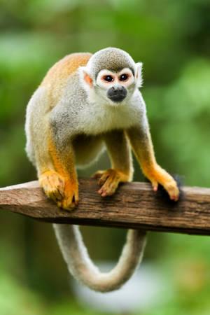 Adult Saimiri Monkey Against Green Blurred Background
