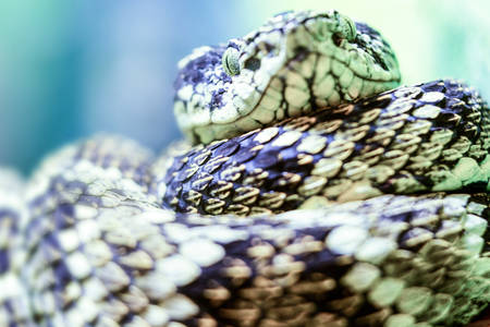 Ground Level View Of A Very Dangerous Viper Species