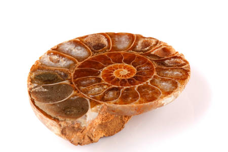Old Pleistocene Seashell Divided For Examination Purpose 写真素材