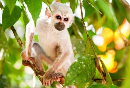 Saimiri Whelp In The Amazonian Rainforest