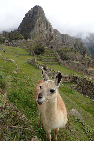 Cheeky llama smiling in front of Machu Picchu