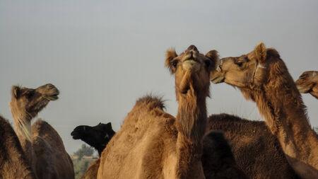 bikaner: Camels at Bikaner, India