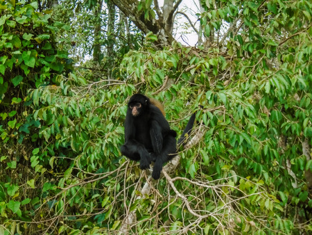 amazon forest: Black headed spider monkey (Ateles fusciceps) in the Amazon forest Stock Photo