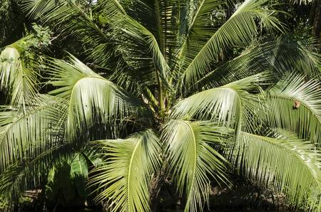 coconut tree with green leaves coconut photo