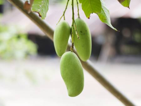 green mango on tree in asia