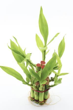 Dracaena Sanderiana isolated on white background photo