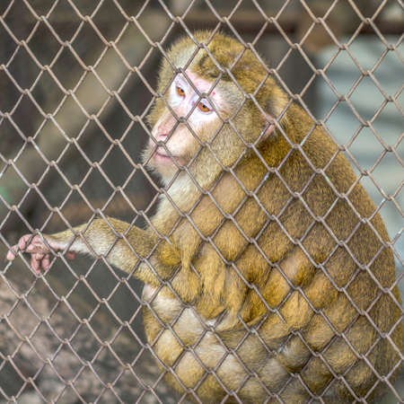 sad yellow monkey in cage in Thailand zoo photo
