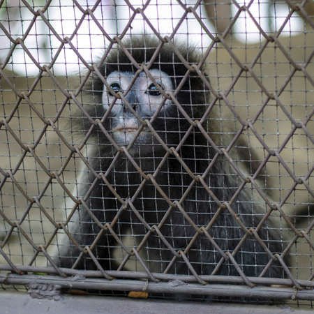 cage gorilla: sad crying monkey in cage in Thailand zoo