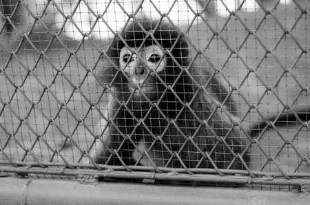 abe: monkey in cage in the zoo