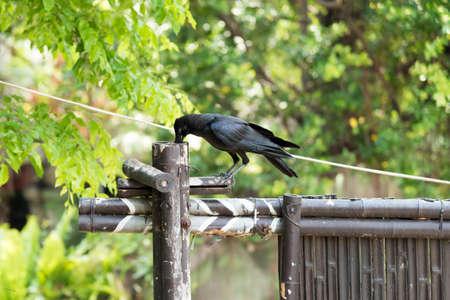 corvidae: Corvidae bird in the zoo
