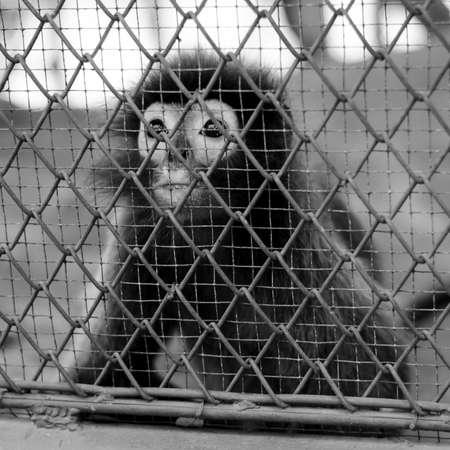 cage gorilla: monkey in cage in the zoo