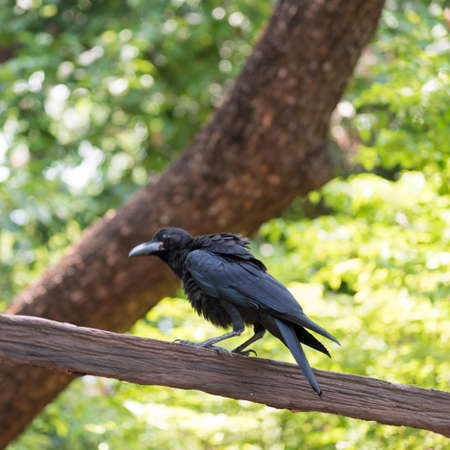 Corvidae bird in the zoo