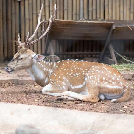 sika deer: sika deer