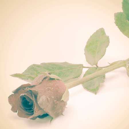beautiful rose: beautiful rose flower soft vintage style