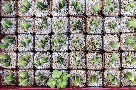 top view of cactus.(Many cactus in pot) Banco de Imagens